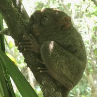 ANIMALS Fabio's LifeTour - Philippines (2007 and 2017) - Bohol Island - Tarsier sanctuary - 17353