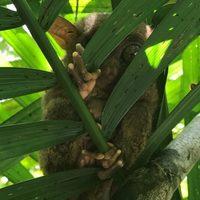 Philippines-tarsier